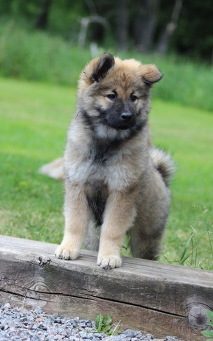 fb5b1022d1-Eurasier-IMG_7089